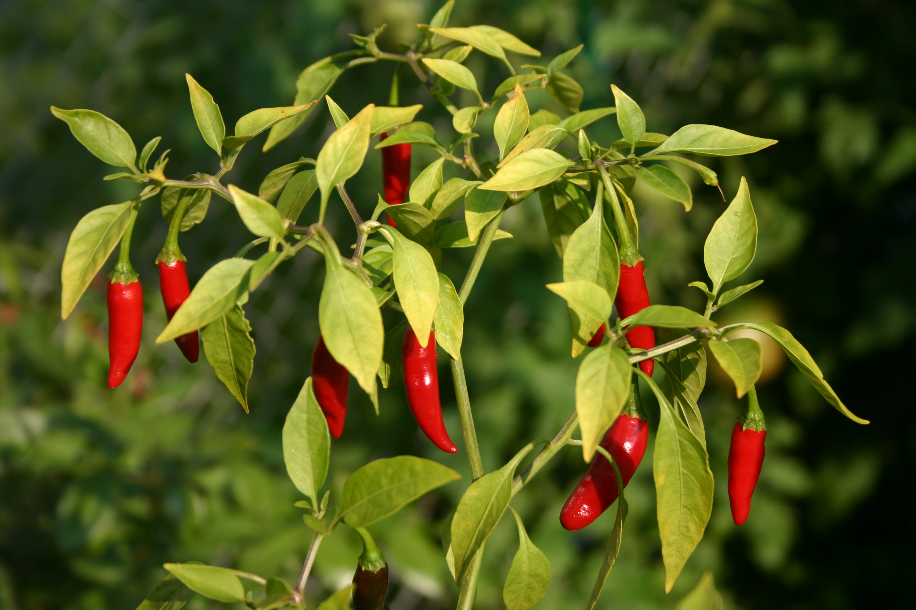 Thai_peppers